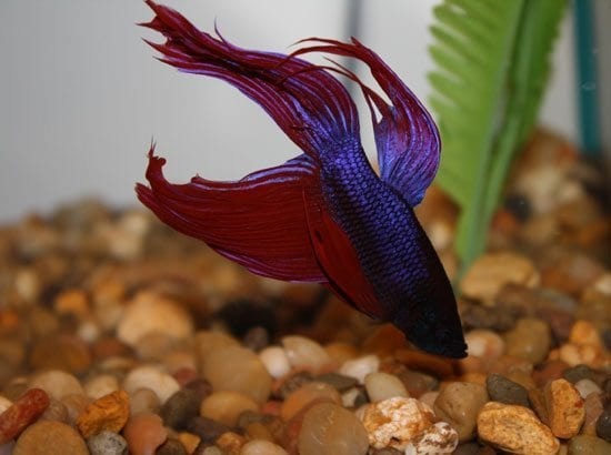 duke betta fish and reiki