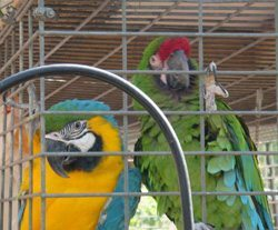 Macaws-250px