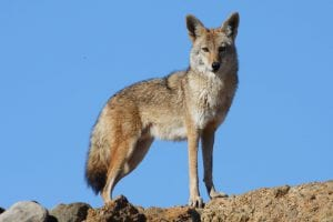 Blue Sky Coyote