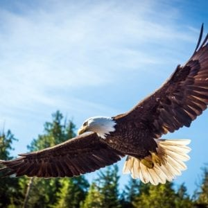 Eagle flying over forest