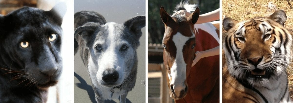 a panther, dog, horse, and tiger helped with Reiki by kathleen prasad